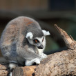Lemur — Stock Photo #22847632