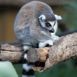 Lemur — Stock Photo #22847670