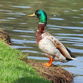 Male Mallard Duck — Stock Photo