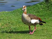 Egyptian Goose — Stock Photo