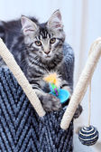 Beautiful Maine Coon kitten — Stock Photo
