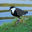 Stock Photo: Lapwing and nestling