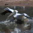 Pelecanus — Stock Photo #22865880