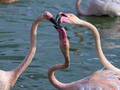 Three Flamingos fighting — Stock Photo