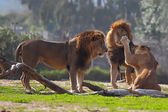 Lions in the zoo — Stock Photo