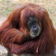Orangutan - Foto Stock