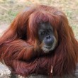 Orangutan -  