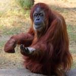Orangutan — Stock Photo #22991352
