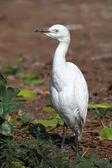 White Heron — Stock Photo
