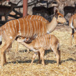 Stock Photo: Little kudu and mom