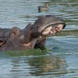 Hippopotamus — Stock Photo #23307958