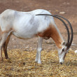 Stock Photo: Horned Oryx