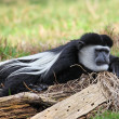Stock Photo: Colobus