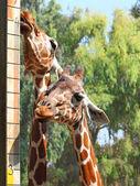 два жирафа — Стоковое фото