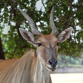 Tragelaphus oryx — Stock Photo