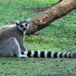 Ring-tailed Lemur — Stock Photo #23367234
