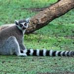 Ring-tailed Lemur — Stock Photo