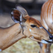 A female kudu antelope - Stockfoto