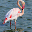 Flamingo — Stock Photo