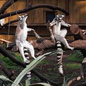 Ring-tailed Lemurs — Stockfoto