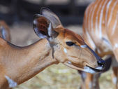 A female kudu antelope — Stock Photo
