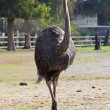 Royalty-Free Stock Photo: Ostrich