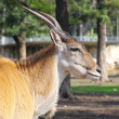 Stock Photo: Tragelaphus oryx