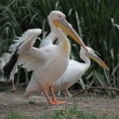 White pelican — Stock Photo #25637763