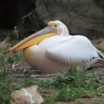 White pelican — Stock Photo #25637795