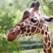 Giraffe face — Stock Photo
