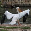White pelican — Stock Photo #25638057