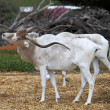 Horned Oryx — Photo