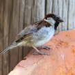 Stock Photo: House Sparrow