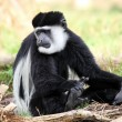 Guereza Monkey  — Stock Photo