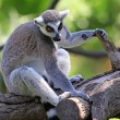 Lemur — Stock Photo #25638699