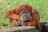 Orangutan — Stock Photo