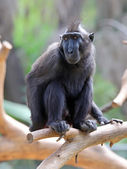 Macaca — Stock Photo