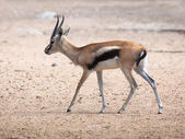 Thompson's Gazelle — Stock Photo