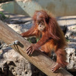 Baby orangutan — Stock Photo #25712735