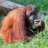 Orangutan — Zdjęcie stockowe