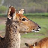 Antelope Kudu — Stock Photo