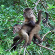 Monkeys on btree branch - Stock Photo