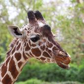 Giraffe face — Stock Photo