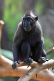 Macaca nigra — Stock Photo