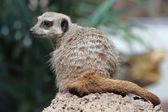 The beauty Meerkat (Suricata suricatta) — Stock Photo