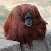 Monkey in a zoo — Foto Stock