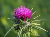 Purple thistle — Stock Photo