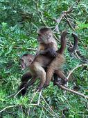 Monkeys on btree branch — Stock Photo