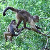 Capuchins — Stock Photo