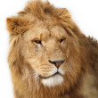 Lion — Stock Photo #26052463